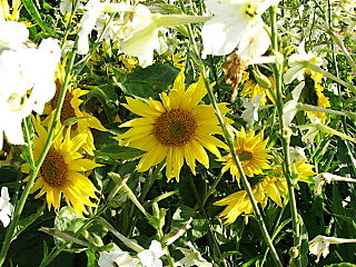 The Cutting Garden, sunflowers