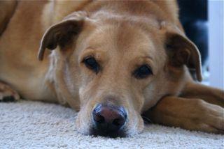 Tanner Dog
