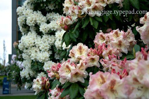 Washington Rhododendrons