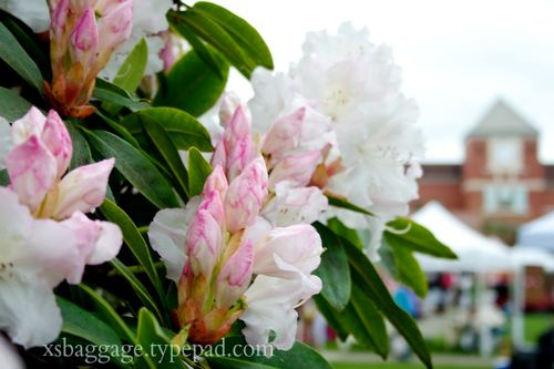 Washington Rhododendrons in Puyallup