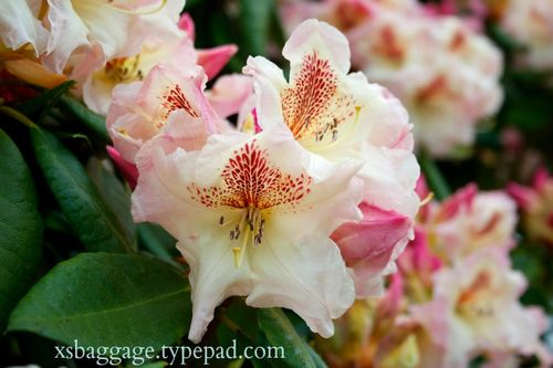 Washington Rhododendrons