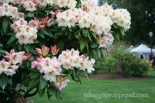 Washington Rhododendrons in Pioneer Park